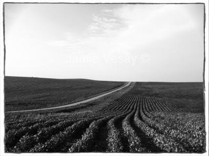 Rows of soybeans and a road to the sky.